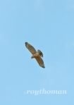 I ended up seeing over a dozen hawks that day.